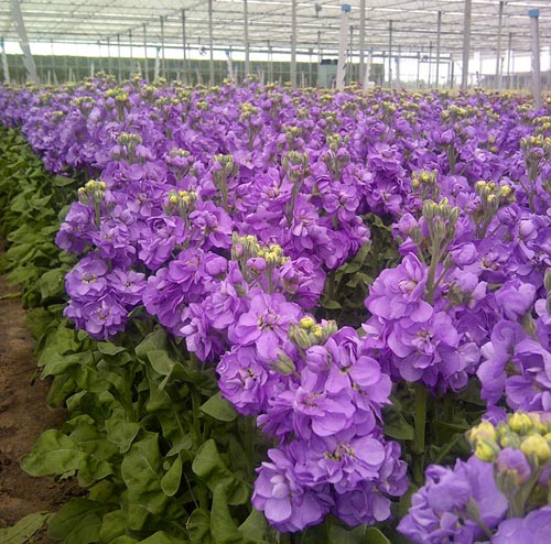 We crop a wide range of scented stocks