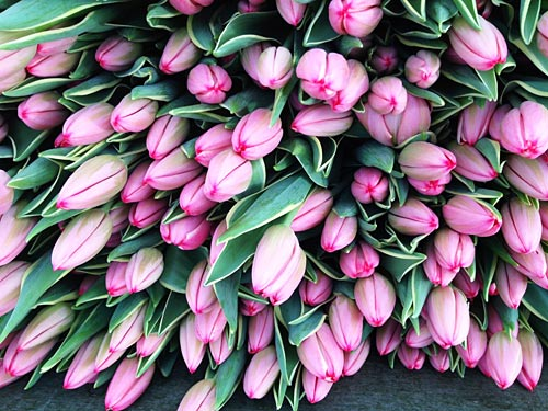 We grow and deliver millions of tulip stems every year